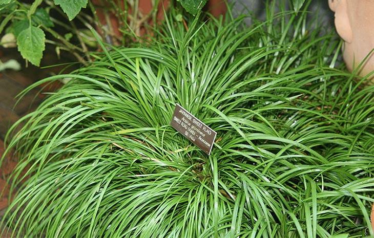 Растение аир в рассаднике