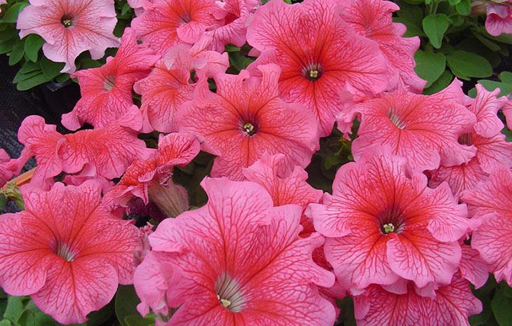 петуния танго f1 крупноцветковая