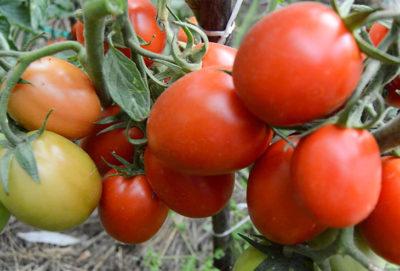 Сорт томата рио фуего