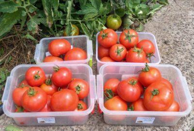 Заготовка семян томатов