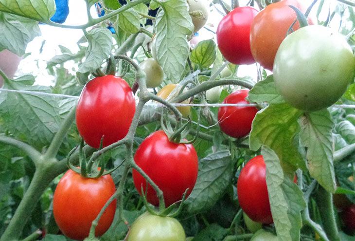 красивый томат рио-фуего