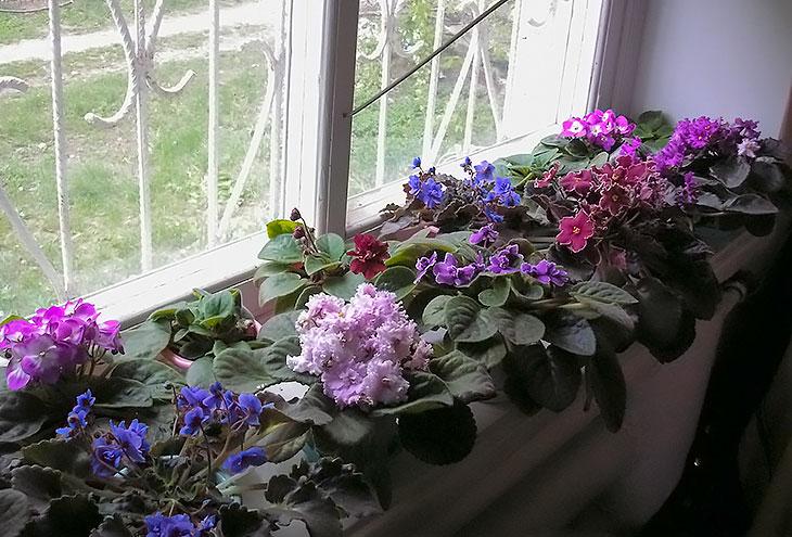 Уход и выращивание комнатных фиалок 72
